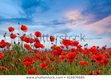 Poppies And Blue Sky Photo stock © Taiga