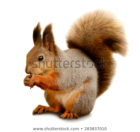 The red squirrel or Eurasian red squirrel  eating nuts  Stock photo © Arsgera