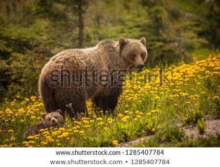Bear eating flowers in Jasper National Park in Canada Stock photo © benkrut