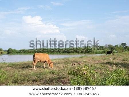 Tavasz nyár zöld mező díszlet ló Stock fotó © dmitry_rukhlenko