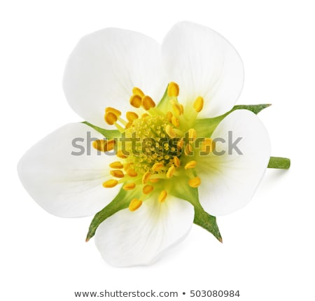 Strawberry flowers Stock photo © vtls
