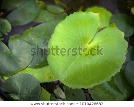 Old Waterlily leaf  Stock photo © AlessandroZocc