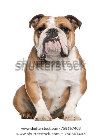 english bulldog Stock photo © milsiart