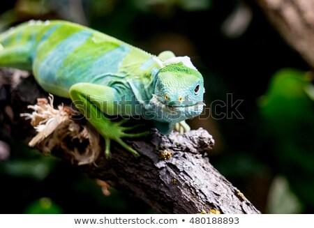 Fiji iguana oturma şube yaz yeşil Stok fotoğraf © Klinker