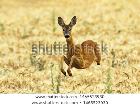 roe deer jumping in wheat field stock photo © taviphoto