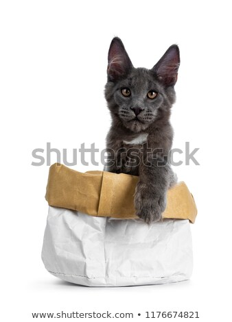 gorgeous well boned solid blue maine coon cat kitten stock photo © catchyimages
