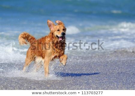 Altın köpek plaj sevimli Stok fotoğraf © ajn