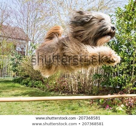 Dog Agility With Jumping Tibetan Terrier Zdjęcia stock © manfredxy