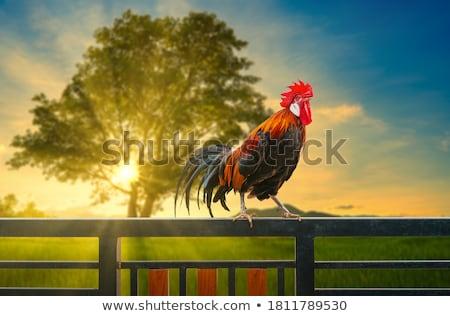 куриные петух Открытый сельскохозяйственных животных полях трава Сток-фото © ivonnewierink