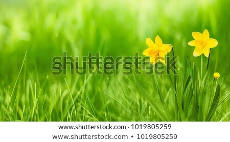 Bud of  narcissus Stock photo © taden