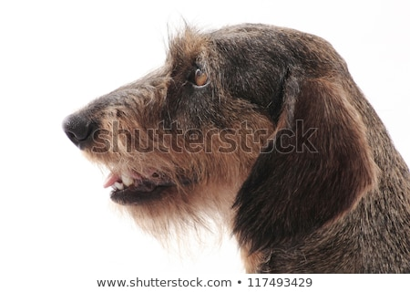 Stock photo: Cute wired hair dachshund in a Black photo studio