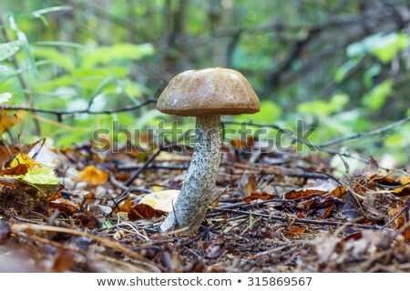 brown cap boletus close-up Stock photo © romvo
