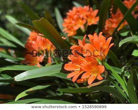 Arbusto lírio amarelo laranja flores quente Foto stock © lovleah