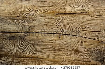 Кора жук галерея древесины повреждение Сток-фото © galitskaya