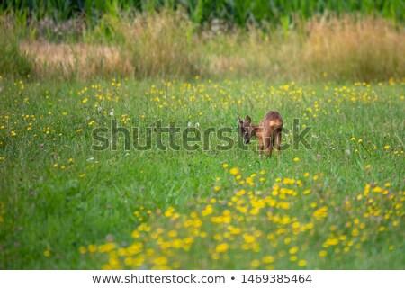 鹿 赤ちゃん 草原 チェコ語 ストックフォト © artush