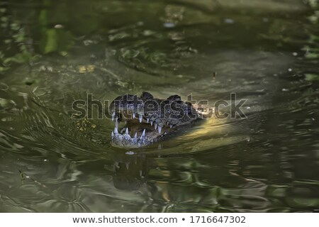 Wild crocodile swimming in the pond Stock photo © bluering