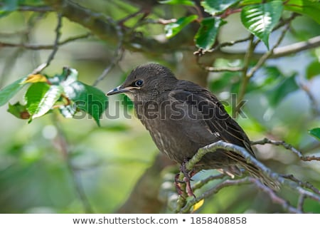 Young starling bird sitting on the twig of a tree Stock photo © manfredxy