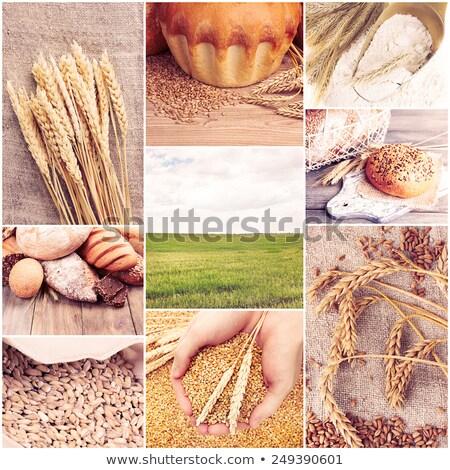 zöld · búza · kollázs · gyűjtemény · búzamező · képek - stock fotó © ldambies