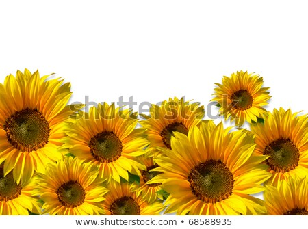 Sunflower against a white background stock photo © visdia