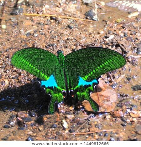 павлин бабочка зеленый назад листьев Солнечный Сток-фото © prill