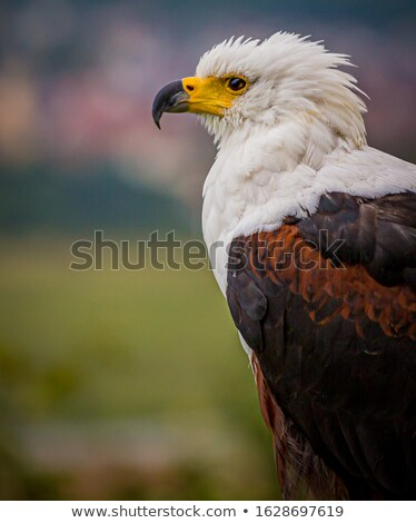 African Fish Eagle (Haliaeetus vocifer) stock photo © hedrus