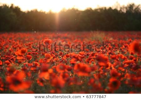 Tüzes virág piros fekete absztrakt illusztráció Stock fotó © Artida
