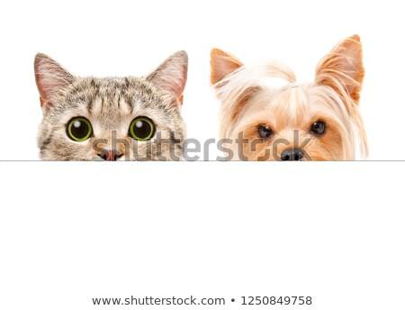 Kitten with placard stock photo © vlad_star