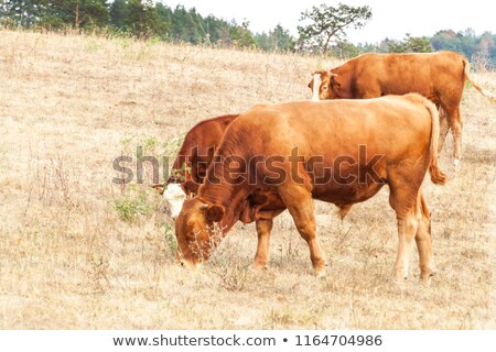 Cows in dry field Stock photo © inaquim