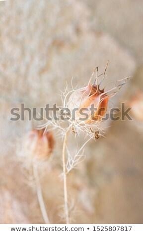 seed head of a love in a mist flower nigella damascena stock photo © haraldmuc