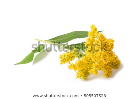 Giant goldenrod (Solidago gigantea) Stock photo © rbiedermann