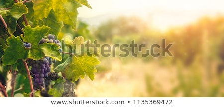 Images Of A Vineyard Photo stock © mythja