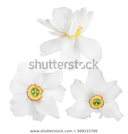 three narcissuses stock photo © Andriy-Solovyov