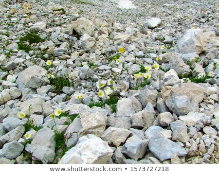wild flowers on rocky terrain Stock photo © taviphoto