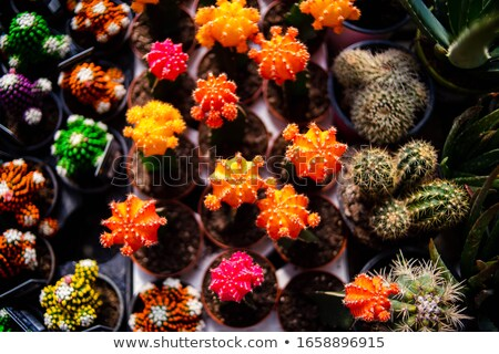 Oranje cactus plant geïsoleerd Stockfoto © stocker
