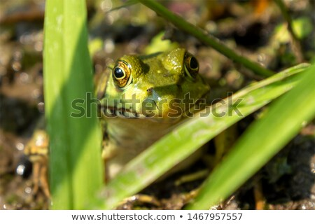 Leopard grenouille boue nord séance bord Photo stock © ca2hill