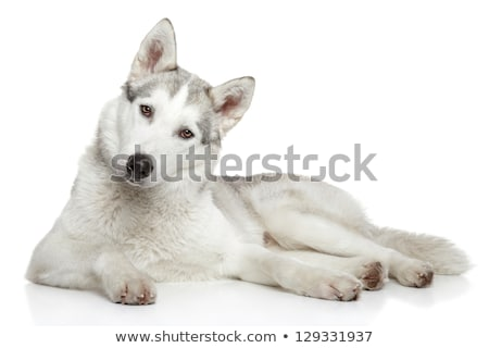 Siberian husky dog resting Stock photo © Elenarts