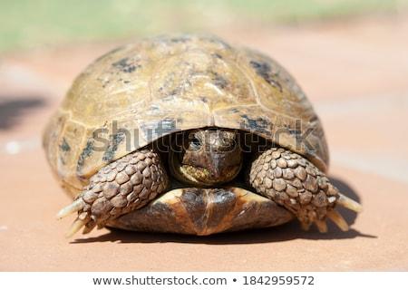 Foto stock: Tartaruga · 2 · anos · feminino · vermelho · parcialmente · concha