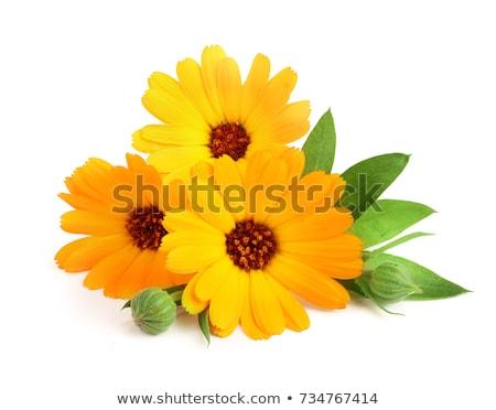 yellow flower calendula close up  Stock photo © OleksandrO