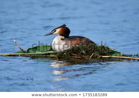 great crested grebe ducks podiceps cristatus nest with eggs stock photo © elenarts