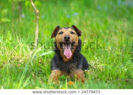 German Hunting Terrier on the green grass lawn Stock photo © CaptureLight