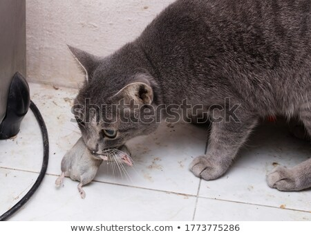 black cat with his prey a dead mouse stock photo © michaklootwijk