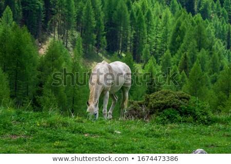 beautiful horses in the dolomites stock photo © geribody