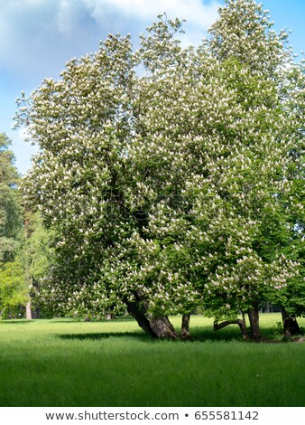 Idyllic landscape with a blooming chestnut tree Stock photo © Zerbor