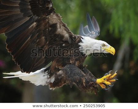 fish eagle taking flight stock photo © jfjacobsz