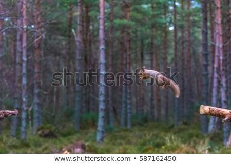 Red Squirrel Leaping Stock photo © suerob