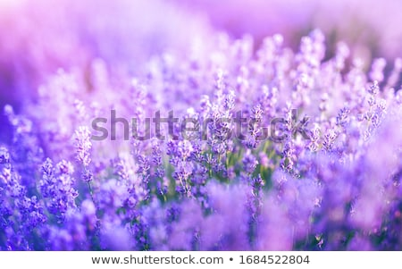 Landscape wallpaper of purple lavender field Stock photo © roboriginal