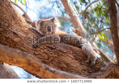 寝 カンガルー オーストラリア オーストラリア人 ほ乳類 ストックフォト © roboriginal