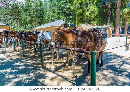 Paarden yosemite national park natuur paard dieren USA Stockfoto © meinzahn