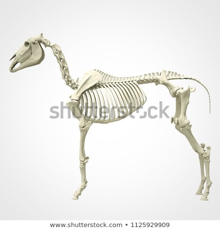 ló · csontváz · tudományos · illusztráció · izolált · égbolt - stock fotó © bluering
