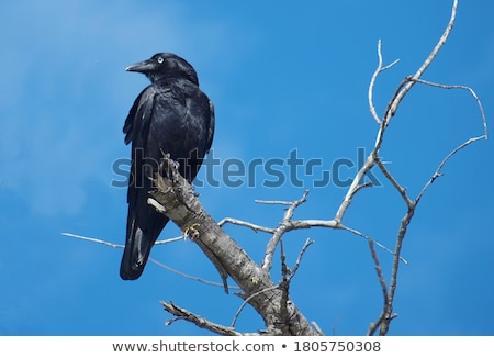 Avustralya kuzgun kuş bilim ayaklar plaka Stok fotoğraf © bluering